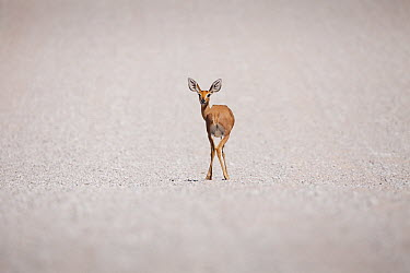 Steenbok (Raphicerus campestris) on dry salt pan, Kgalagadi Transfrontier Park, South Africa  -  Richard Du Toit