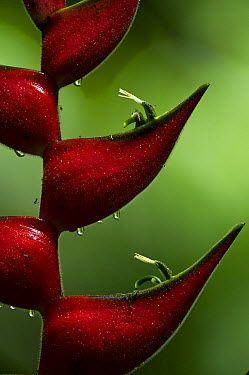 Heliconia (Heliconia sp) flowers and bracts, Yasuni National Park, Amazon, Ecuador  -  Pete Oxford