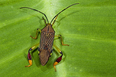 Squash Bug (Coreidae), Yasuni National Park, Amazon, Ecuador  -  Pete Oxford