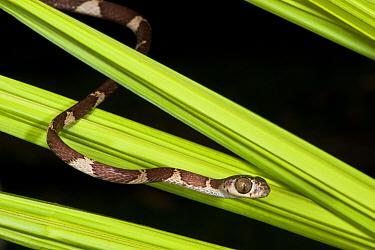 Blunt-headed Tree Snake (Imantodes cenchoa), Yasuni National Park, Amazon, Ecuador  -  Pete Oxford
