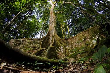 Fig (Ficus sp) tree in rainforest, Yasuni National Park, Amazon, Ecuador  -  Pete Oxford