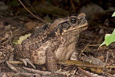 Cane Toad (Bufo marinus), Yasuni National Park, Amazon, Ecuador  -  Pete Oxford
