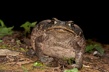 Cane Toad (Bufo marinus), inflated in defensive posture, Yasuni National Park, Amazon, Ecuador  -  Pete Oxford