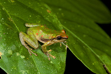 Canelos Robber Frog (Pristimantis acuminatus), Yasuni National Park, Amazon, Ecuador  -  Pete Oxford