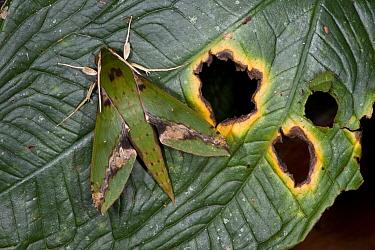 Chiron Sphinx Moth (Xylophanes chiron), Yasuni National Park, Amazon, Ecuador  -  Pete Oxford