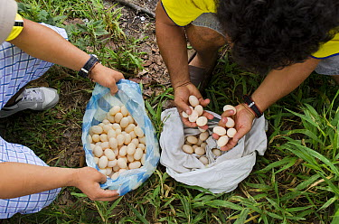 Yellow-spotted Amazon River Turtle (Podocnemis unifilis) eggs for sale -illegally harvested from Yasuni National Park, Pompeya Market, Amazon, Ecuador  -  Pete Oxford