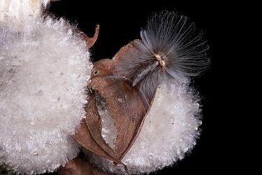 Flannel Moth (Megalopygidae) caterpillar on seed head of Silk Cotton Tree (Ceiba pentandra), Yasuni National Park, Amazon, Ecuador  -  Pete Oxford