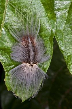Flannel Moth (Megalopygidae) caterpillar, Yasuni National Park, Amazon, Ecuador  -  Pete Oxford