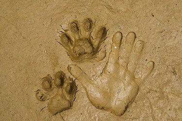 Jaguar (Panthera onca) footprints and handprint, Yasuni National Park, Amazon, Ecuador  -  Pete Oxford