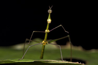Jumping Stick (Apioscelis bulbosa) female, Yasuni National Park, Amazon, Ecuador  -  Pete Oxford