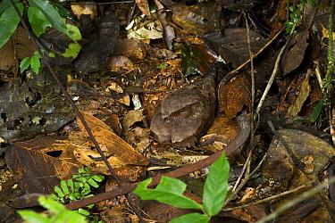 Ocellated Poorwill (Nyctiphrynus ocellatus) sitting on nest, Yasuni National Park, Amazon, Ecuador  -  Pete Oxford