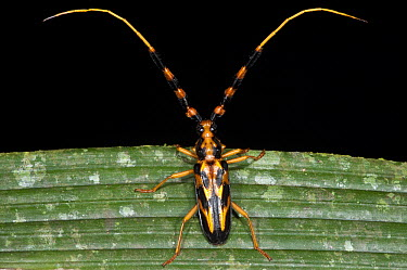 Longhorn Beetle (Batus barbicornis) with aposematic coloration, Yasuni National Park, Amazon, Ecuador  -  Pete Oxford