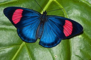 Painted Beauty (Batesia hypochlora) butterfly, Yasuni National Park, Amazon, Ecuador  -  Pete Oxford