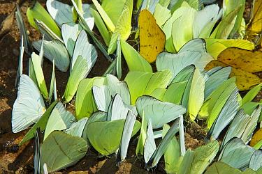 Pierid Butterfly (Phoebis sp) group on mineral lick, Yasuni National Park, Amazon, Ecuador  -  Pete Oxford