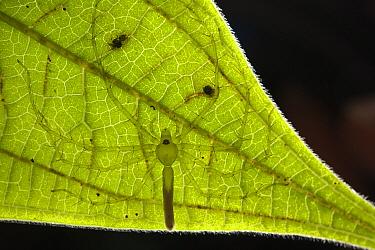 Fishing Spider (Pisauridae) on underside of leaf, Yasuni National Park, Amazon, Ecuador  -  Pete Oxford