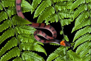 Banded Tree Snake (Tripanurgos compressus), Yasuni National Park, Amazon, Ecuador  -  Pete Oxford