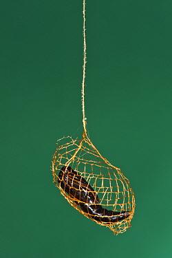 False Burnet Moth (Urodus sp) cocoon with pupa, Yasuni National Park, Amazon, Ecuador  -  Pete Oxford