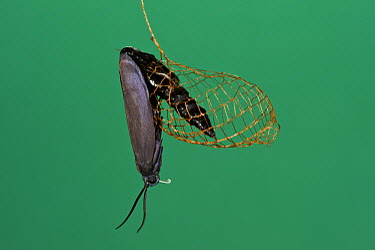 False Burnet Moth (Urodus sp) emerging from cocoon, Yasuni National Park, Amazon, Ecuador  -  Pete Oxford