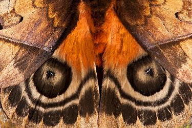 Saturniid Moth (Saturniidae) false eyespots on wings, Yasuni National Park, Amazon, Ecuador  -  Pete Oxford