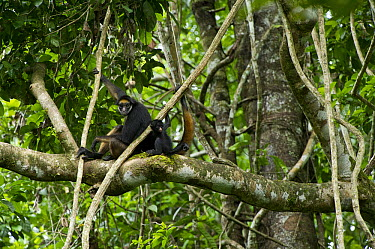 White-bellied Spider Monkey (Ateles belzebuth) mother and young, Yasuni National Park, Amazon, Ecuador  -  Pete Oxford