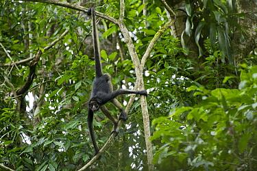 White-bellied Spider Monkey (Ateles belzebuth) climbing down tree, Yasuni National Park, Amazon, Ecuador  -  Pete Oxford