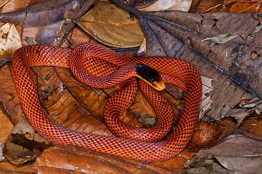 Yellow-headed Calico Snake (Oxyrhopus formosus), Yasuni National Park, Amazon, Ecuador  -  Pete Oxford