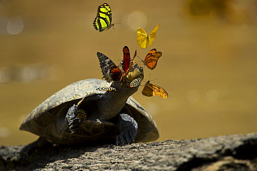 Yellow-spotted Amazon River Turtle (Podocnemis unifilis) sunbathing surrounded by butterflies sipping salts from the turtle's tears, Yasuni National Park, Amazon, Ecuador  -  Pete Oxford