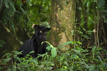 Jaguar (Panthera onca) melanistic individual, also called a black panther, Yasuni National Park, Amazon, Ecuador  -  Pete Oxford