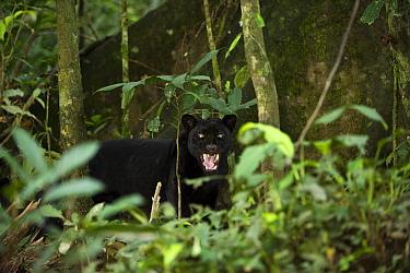 Jaguar (Panthera onca) melanistic individual, also called a black panther, snarling, Yasuni National Park, Amazon, Ecuador  -  Pete Oxford