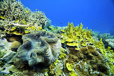 Giant Clam (Tridacna gigas) on reef, Wheeler Reef, Great Barrier Reef, Queensland, Australia  -  Dr. David Wachenfeld/ Auscape