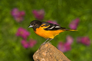 Baltimore Oriole (Icterus galbula) male, Rio Grande Valley, Texas  -  Tom Vezo