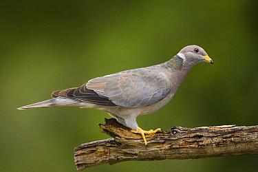 Band-tailed Pigeon (Patagioenas fasciata), New Mexico  -  Tom Vezo