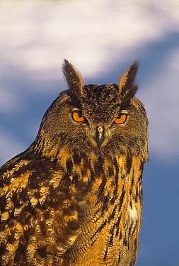 Eurasian Eagle-Owl (Bubo bubo), Vermont  -  Tom Vezo