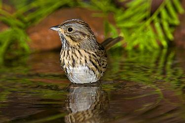 Lincoln's Sparrow (Melospiza lincolnii), Rio Grande Valley, Texas  -  Tom Vezo