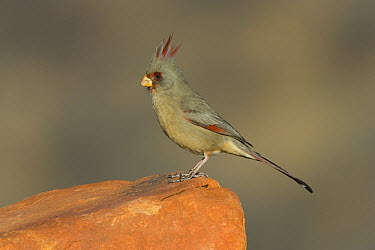 Pyrrhuloxia (Cardinalis sinuatus), Santa Rita Mountains, Arizona  -  Tom Vezo