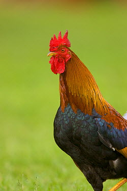 Domestic Chicken (Gallus domesticus) rooster, Kauai, Hawaii  -  Tom Vezo