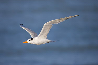 Royal Tern (Thalasseus maximus) flying, Rio Grande Valley, Texas  -  Tom Vezo