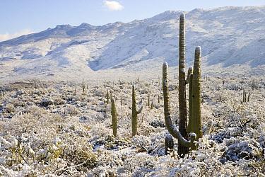 Saguaro (Carnegiea gigantea) cactus in snow, Saguaro National Park, Tucson, Arizona  -  Tom Vezo