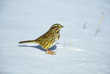Song Sparrow (Melospiza melodia) on snow, Long Island, New York  -  Tom Vezo
