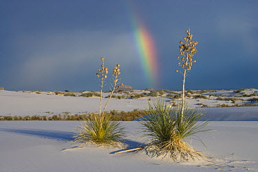 Soaptree Yucca (Yucca elata) and rainbow, White Sands National Monument, New Mexico  -  Tom Vezo