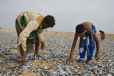Indian Oil Sardine (Sardinella longiceps) harvest spread out by fisherman to be dried for three days and subsequently fed to Dromedaries (Camelus dromedarius), Hawf Protected Area, Yemen  -  Sebastian Kennerknecht