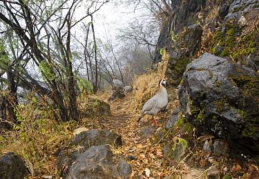 Arabian Partridge (Alectoris melanocephala) trio in cloud forest, Hawf Protected Area, Yemen  -  Sebastian Kennerknecht