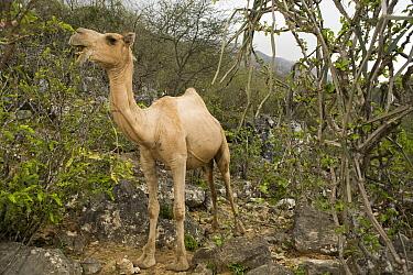 Dromedary (Camelus dromedarius) in cloud forest, their browsing reduces food for native herbivores, Hawf Protected Area, Yemen  -  Sebastian Kennerknecht