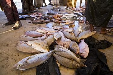 Trumpet Emperor (Lethrinus miniatus) and Spangled Emperor (Lethrinus nebulosus) fish in market, Hawf Protected Area, Yemen  -  Sebastian Kennerknecht