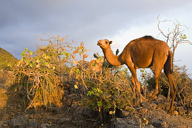 Dromedary (Camelus dromedarius) sub-adult browsing in cloud forest which reduces food for native herbivores, Hawf Protected Area, Yemen  -  Sebastian Kennerknecht