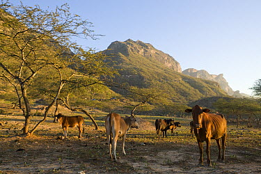 Domestic Cattle (Bos taurus) herd in overgrazed area of cloud forest with Bedouin camp in the background, Hawf Protected Area, Yemen  -  Sebastian Kennerknecht