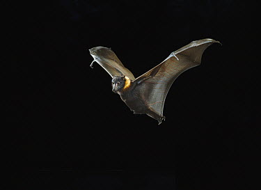 Indian Flying Fox (Pteropus giganteus) flying at night, England  -  Stephen Dalton