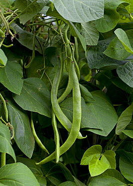 Runner Bean (Phaseolus coccineus) pods, England  -  Stephen Dalton