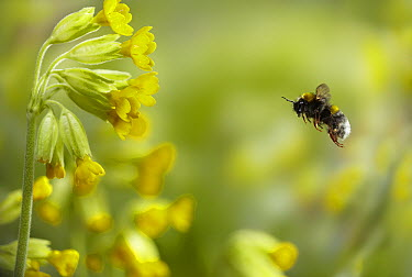 Buff-tailed Bumblebee (Bombus terrestris) approaching Cowslip Primrose (Primula veris) flower, England  -  Stephen Dalton