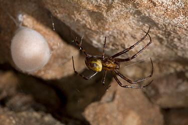 Cave Spider (Meta menardi) female with egg sac, England  -  Stephen Dalton